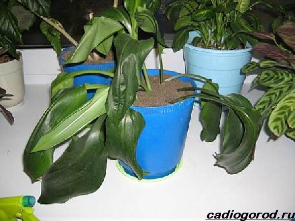 Описание эухариса. уход за амазонской лилией в домашних условиях.