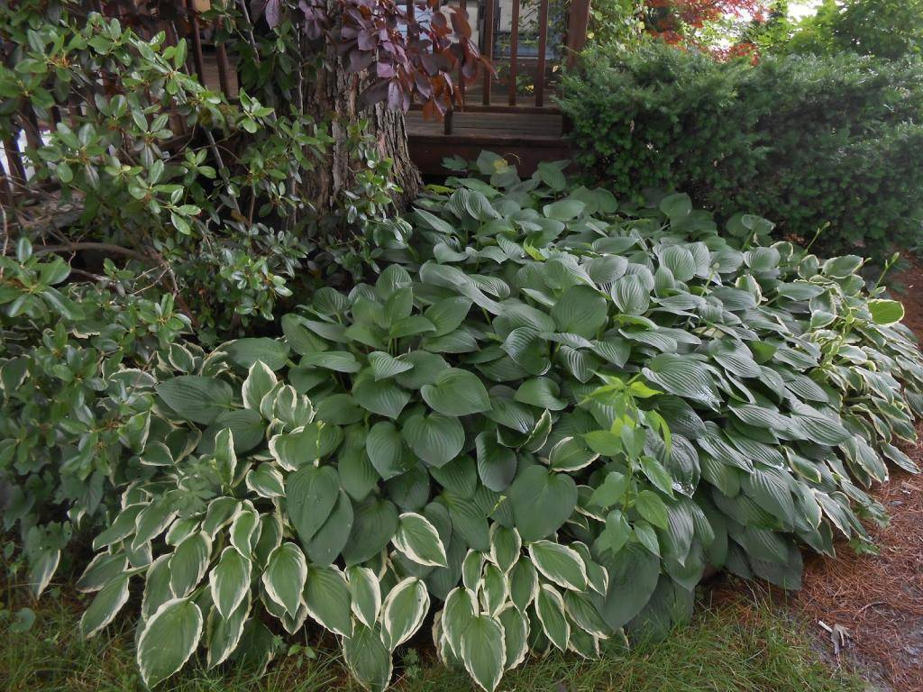 Хоста — посадка и уход за изящной красавицей тенистого сада