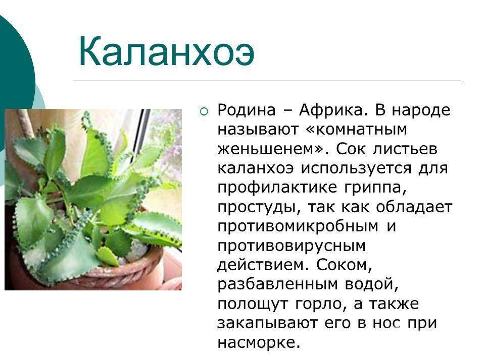 Каланхоэ перистое - описание вида, фото растения
