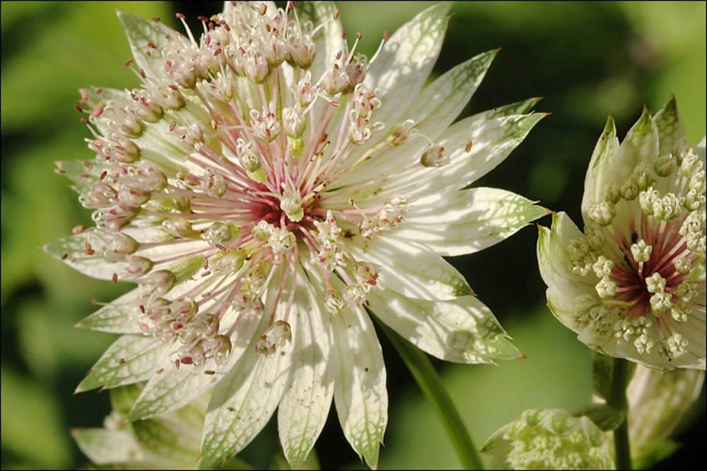 Астранция – многолетнее травянистое растение для открытого грунта: описание с фото, посадка и уход за цветком