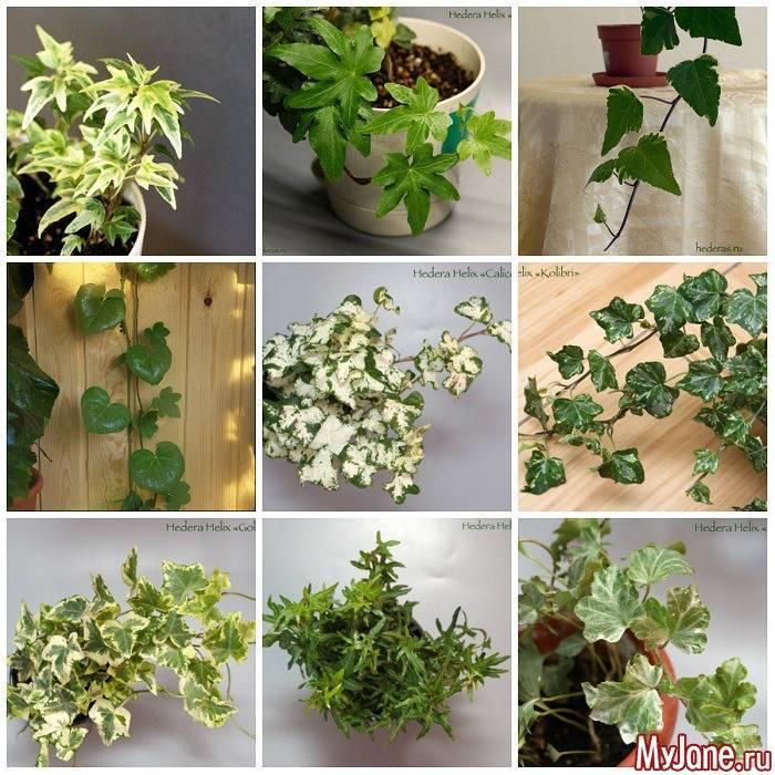 Идеальный для выращивания в домашних условиях плющ (хедера): описание, фото и виды