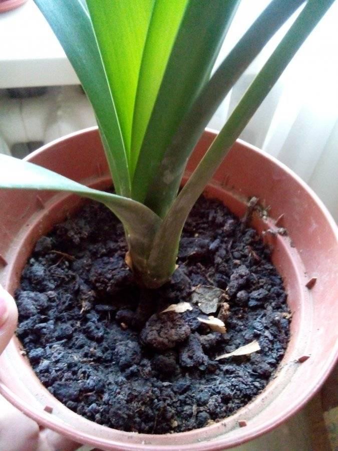 Кливия: фото цветка, описание, а также как выглядят семена и листья комнатного растения