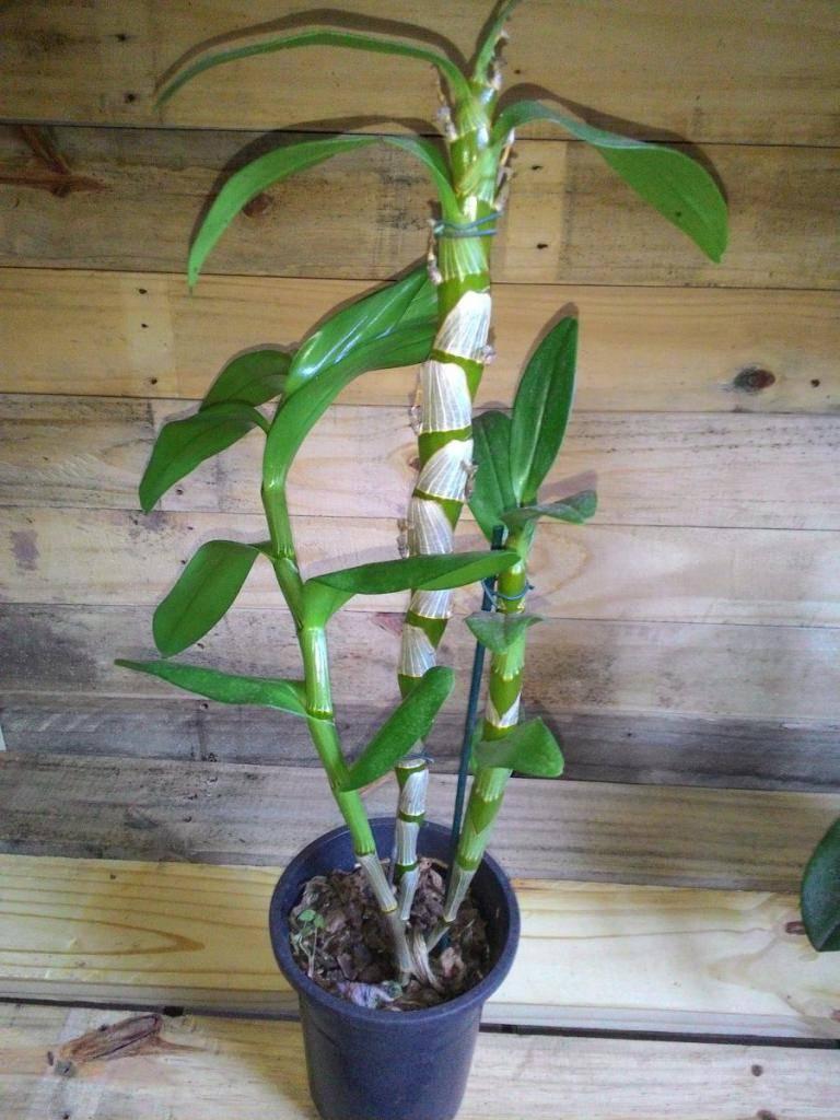 Орхидея дендробиум: описание, размножение и уход