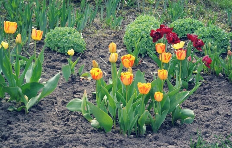 Когда сажать тюльпаны осенью. посадка и уход за тюльпанами в открытом грунте в саду.