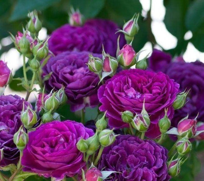 Розовый сад - создание и обустройство розария. названия и описание сортов роз, фото роз. ландшафтный дизайн, озеленение.