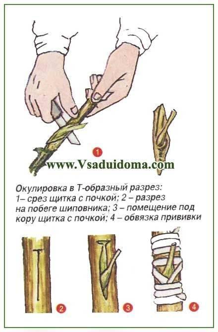 Прививка культурных роз на шиповник весной: грамотно, эффективно