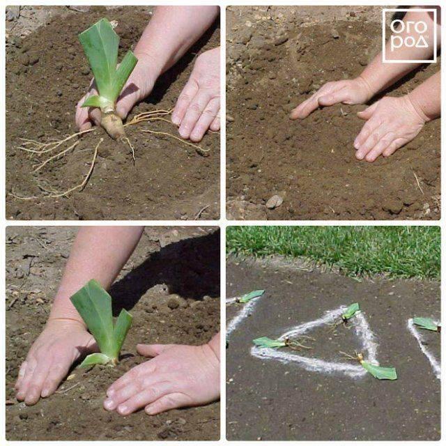Барвинок – многолетнее травянистое растение для открытого грунта: фото,  описание цветка, видео выращивания, посадки и ухода