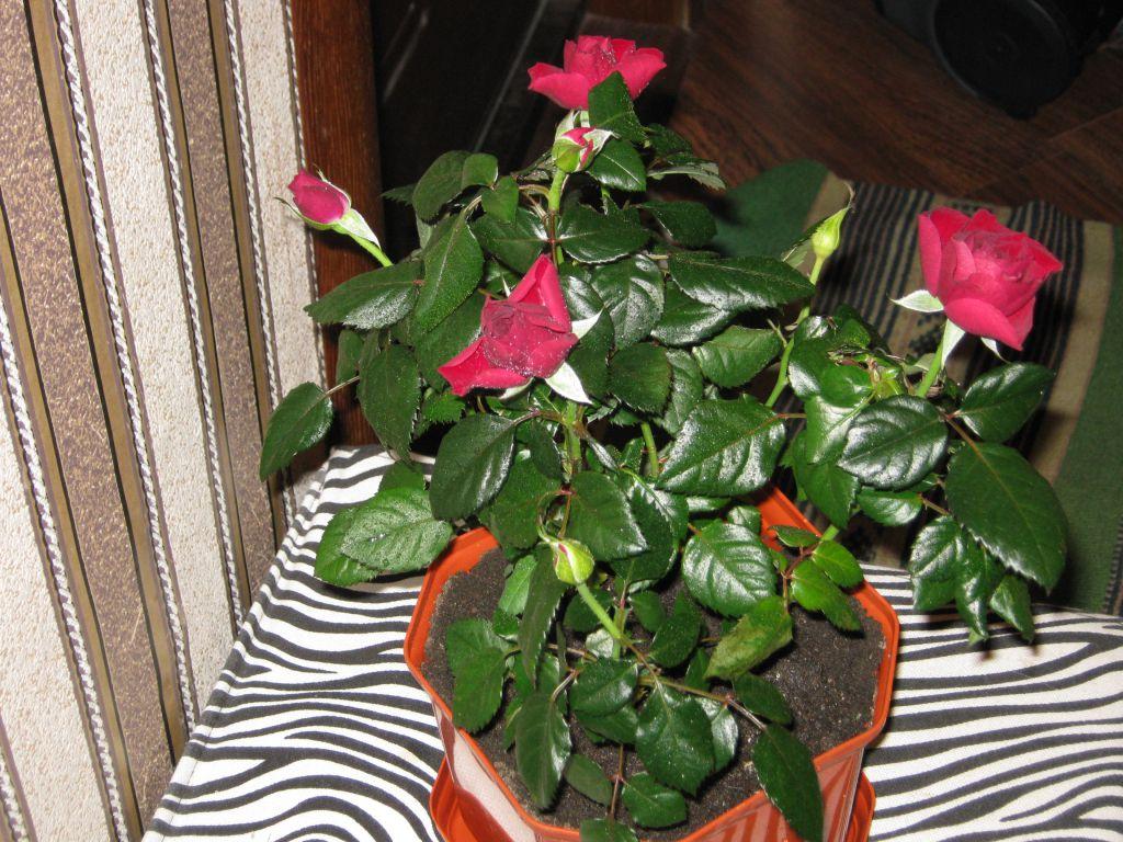 Что делать, если у садовой розы пожелтели и опали листья летом: почему сохнут