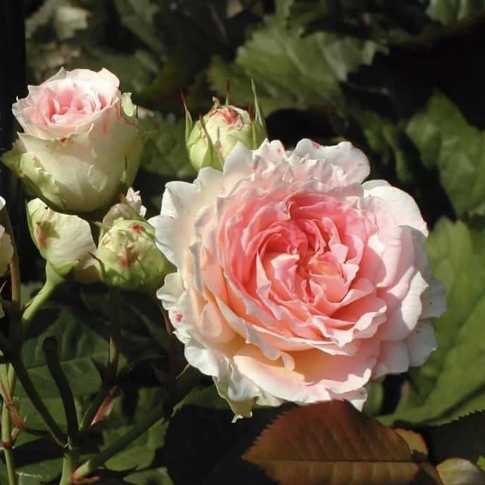Роза свани (swany) — описание и характеристики сорта