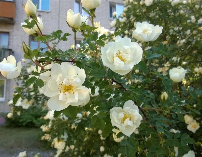 Дикая роза (шиповник) - выращивание в саду