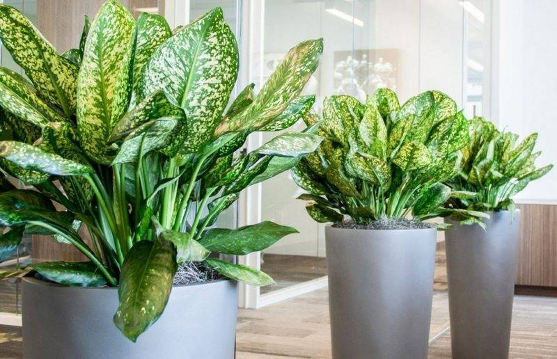 Цветы аглаонема: уход в домашних условиях, размножение, виды аглаонемы на фото