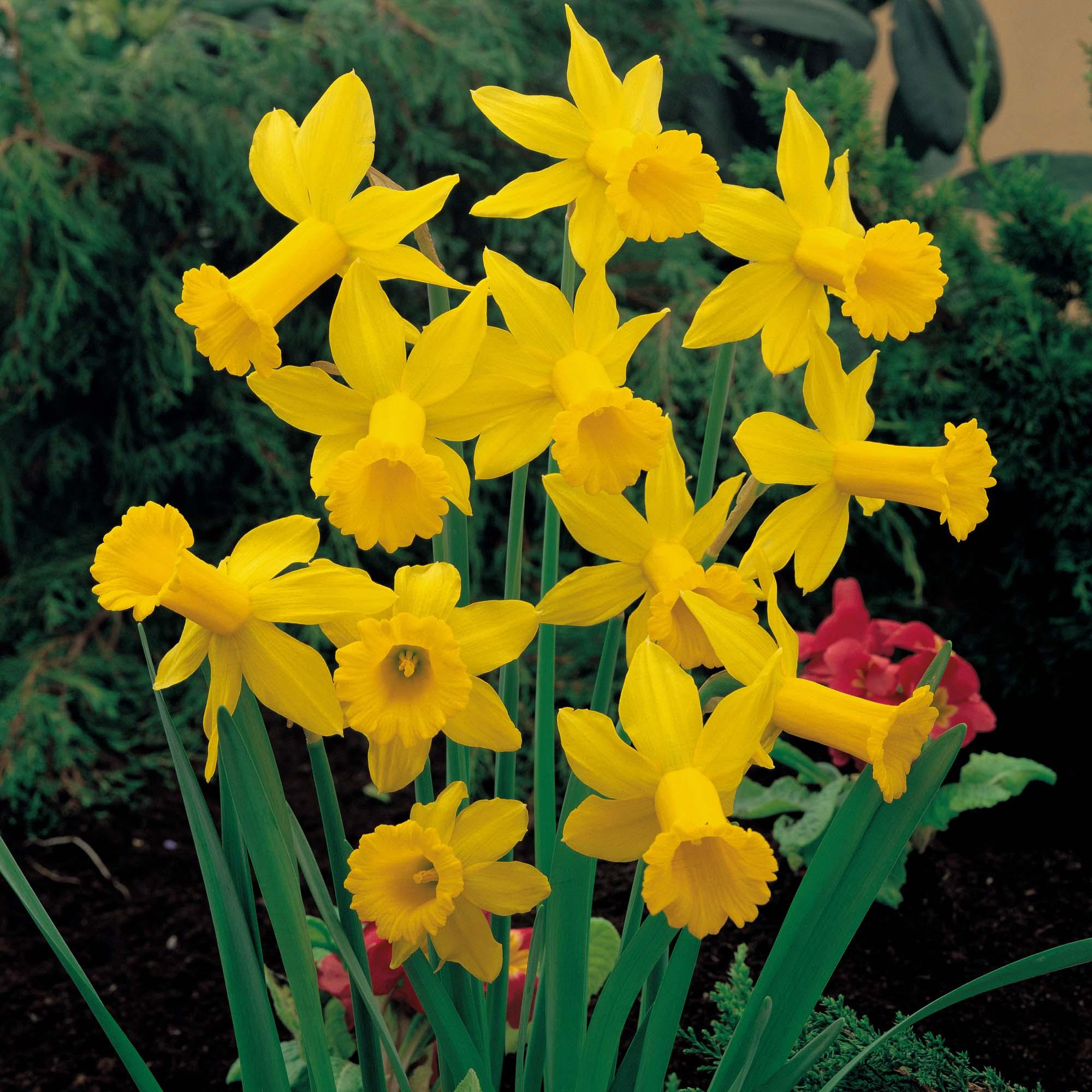 Желтые нарциссы (21 фото): махровые бледно- и ярко-желтые нарциссы и другие сорта цветов с желтой коронкой