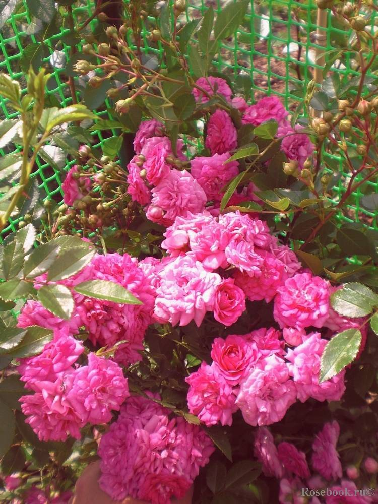 Описание плетистой почвопокровной розы супер дороти: характеристики сорта