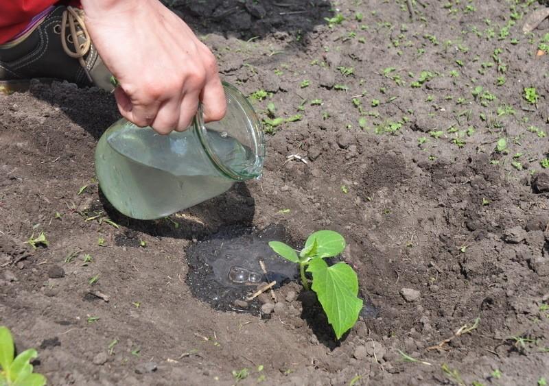Азарина лазающая, выращивание из семян по всем правилам