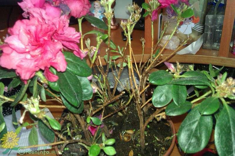 Почему сохнут и опадают листья у азалии? рекомендации, как спасти зеленого друга