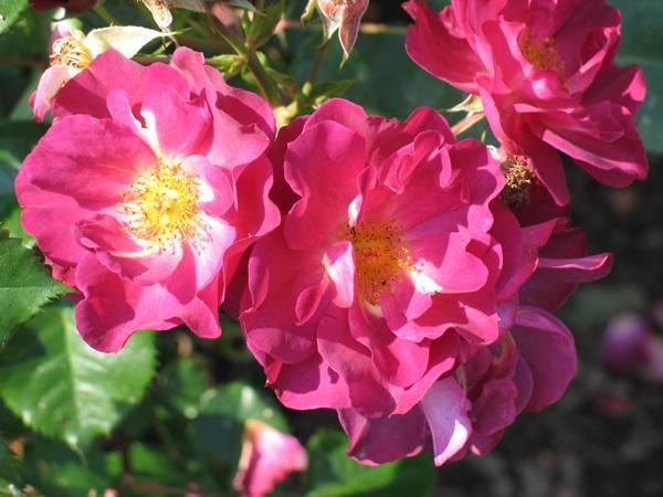 Канадские розы: 11 самых красивых сортов, размножение и уход