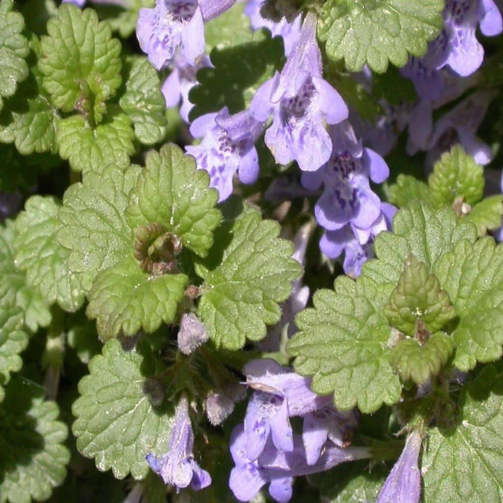 Будра плющевидная пестролистная — выращивание в саду, уход