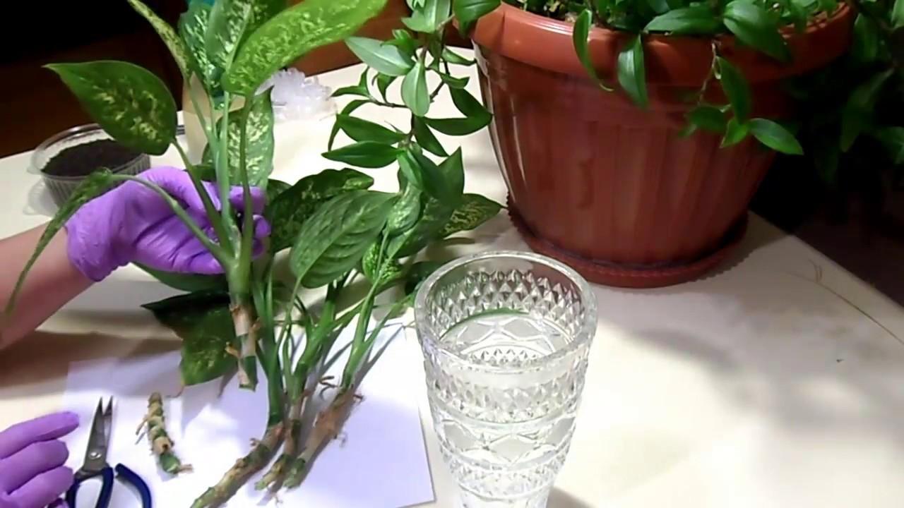 Аглаонема: все нюансы ухода за цветком в домашних условиях + фото и видео