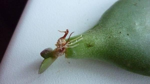 Ответ цветоводов финансовому кризису — выращивание и размножение денежного дерева в домашних условиях