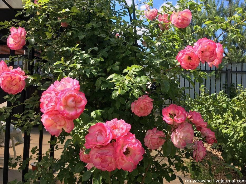 Характеристика роз сорта «амадеус» и правила их выращивания