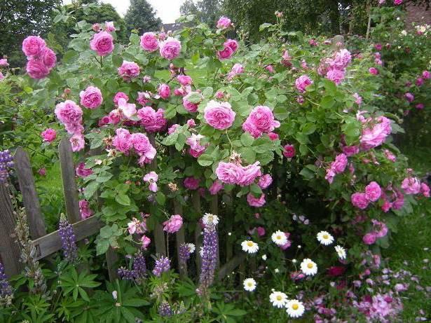 Парковая роза: что это такое, описание и применение в ландшафтном дизайне, выращивание, посадка и уход, названия и фото сортов вестерленд, леонардо да винчи и других