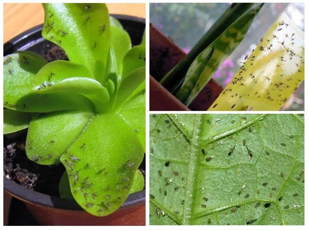 Как избавиться от цветочной мошки в горшках и на комнатных цветах