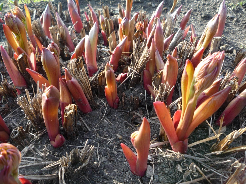 Как вырастить розмарин в открытом грунте, посадка, размножение и уход