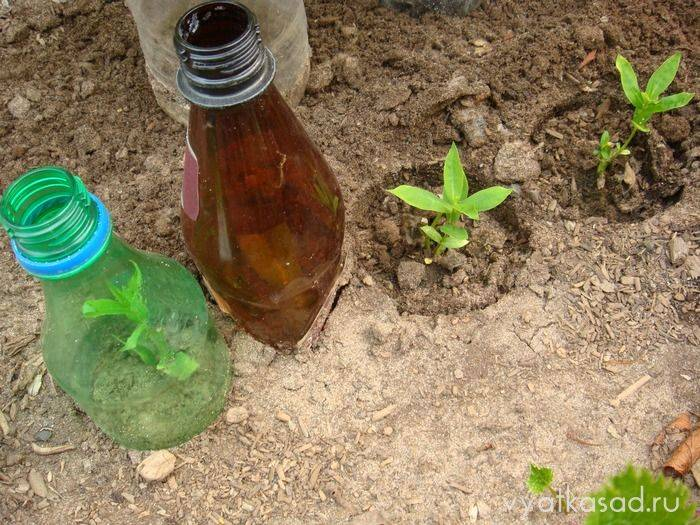 Флоксы — посадка и уход, размножение черенками