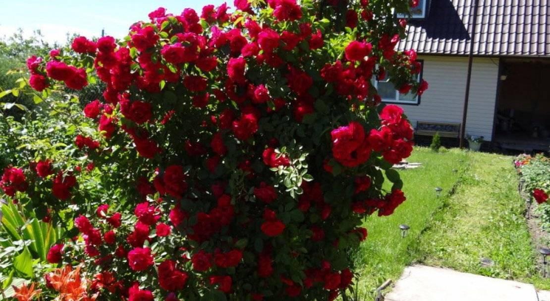 Роза фламментанц (flammentanz) — посадка и уход, как обрезать после цветения