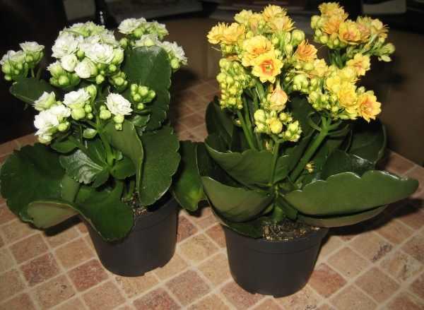 Размножение каланхоэ (16 фото): как размножить его листом и черенками в домашних условиях? как рассадить цветущий каланхоэ?
