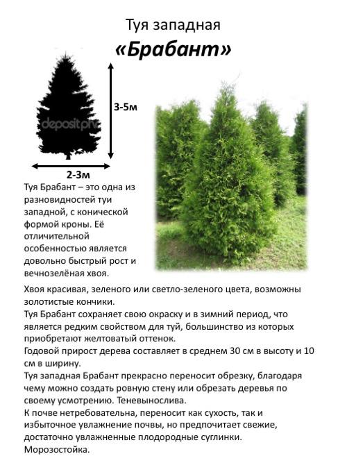 Туя западная «брабант» (34 фото): описание и размеры, посадка и уход. как сделать живую изгородь? стрижка взрослого растения весной