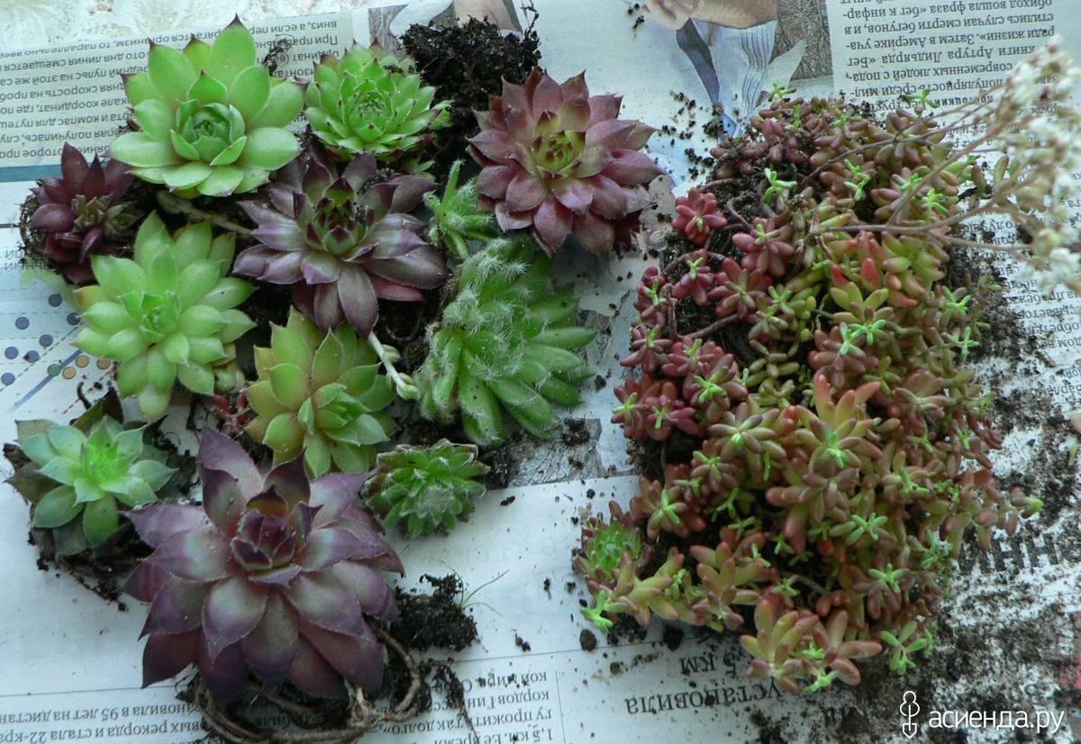 Седум (очиток) ложный: малиновый, пурпурный и румянец - описание с фото