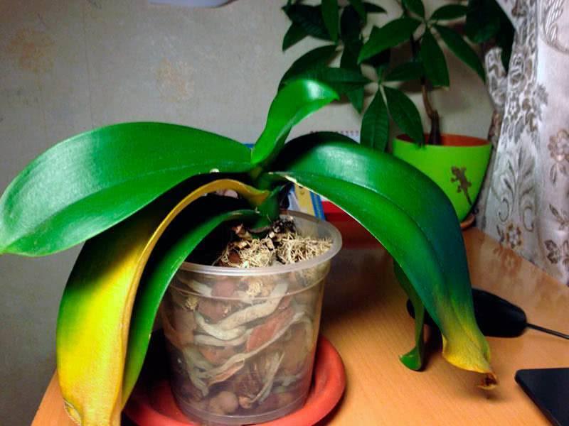 Рассказываем, что делать, если у орхидеи желтеют листья?