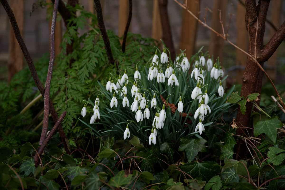 Пролески (сциллы): выращивание, посадка и уход, фото, виды и сорта