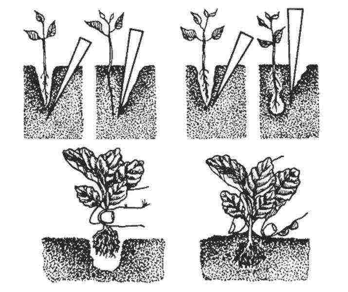 Цветок дицентра — посадка и уход в открытом грунте
