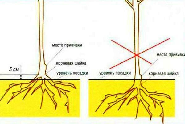 Заглубление корневой шейки
