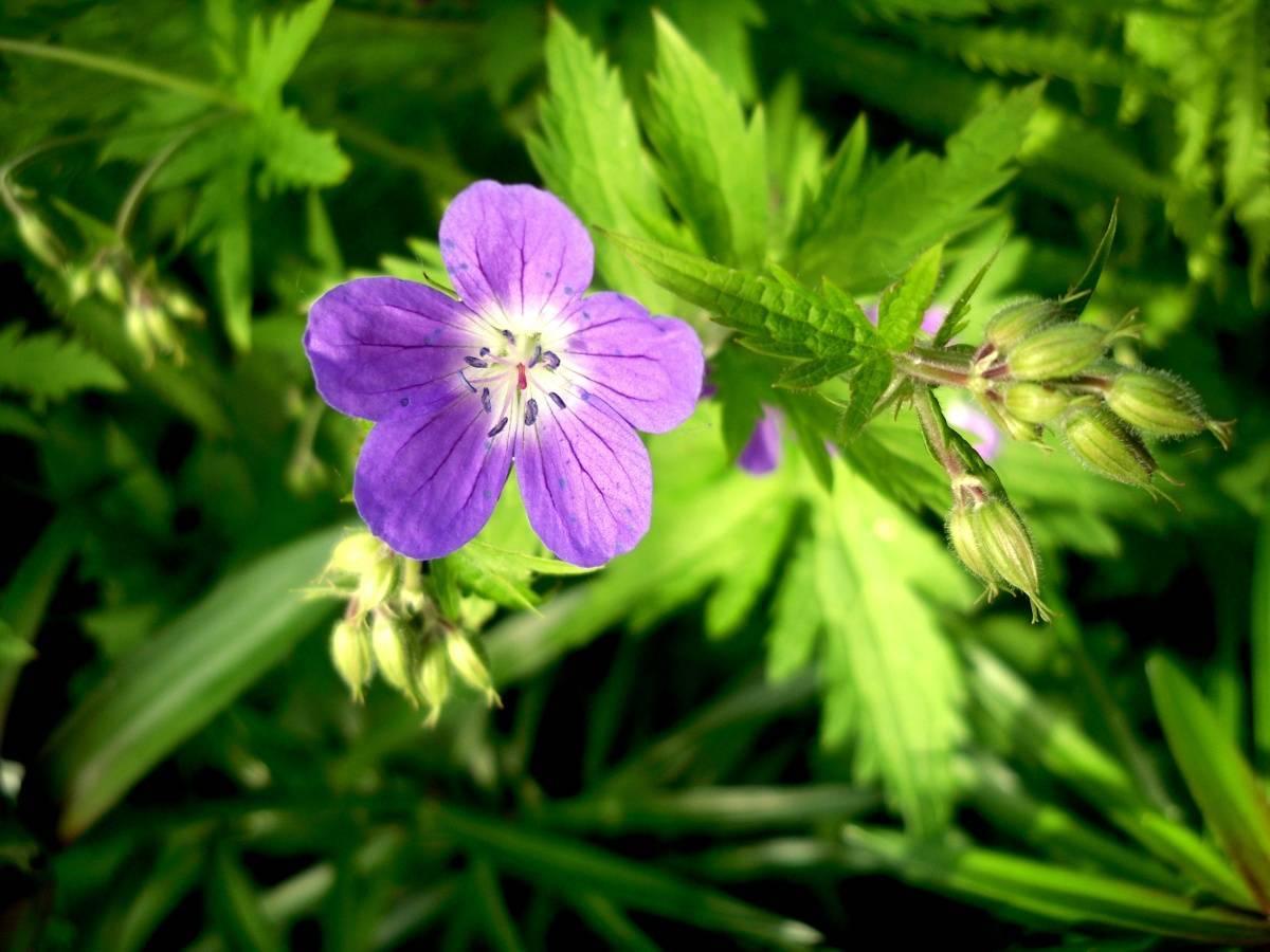 Герань луговая - описание лекарственного растения