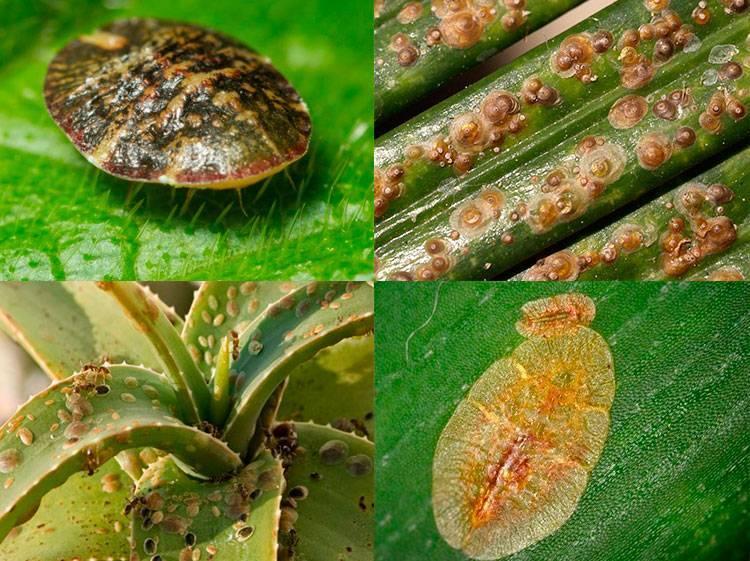 Болезни и вредители хризантем: как распознать и какими методами бороться?