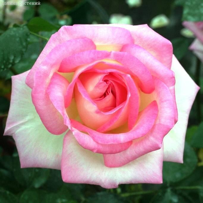 Выращивание розы сорта юбилей принца монако: как ухаживать за флорибундой