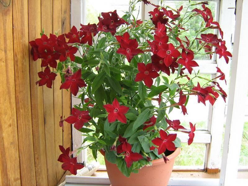 Душистый табак — секреты выращивания от опытных садоводов