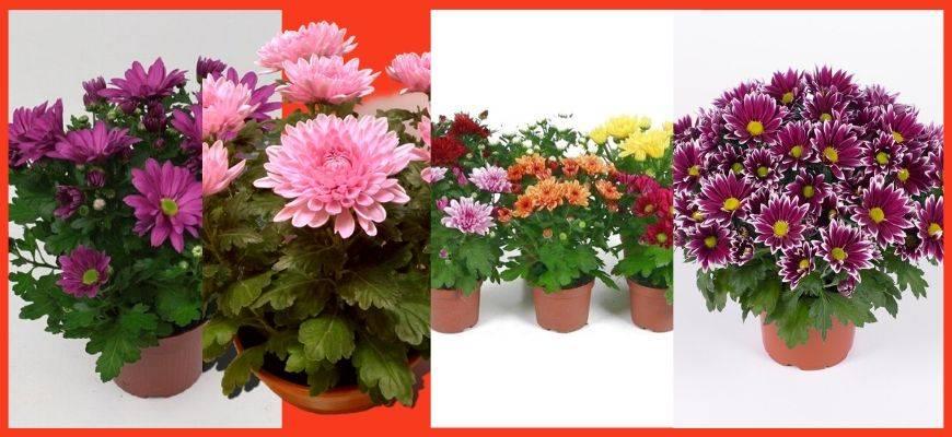 Уход за хризантемой комнатной в горшке в домашних условиях: почему не цветет