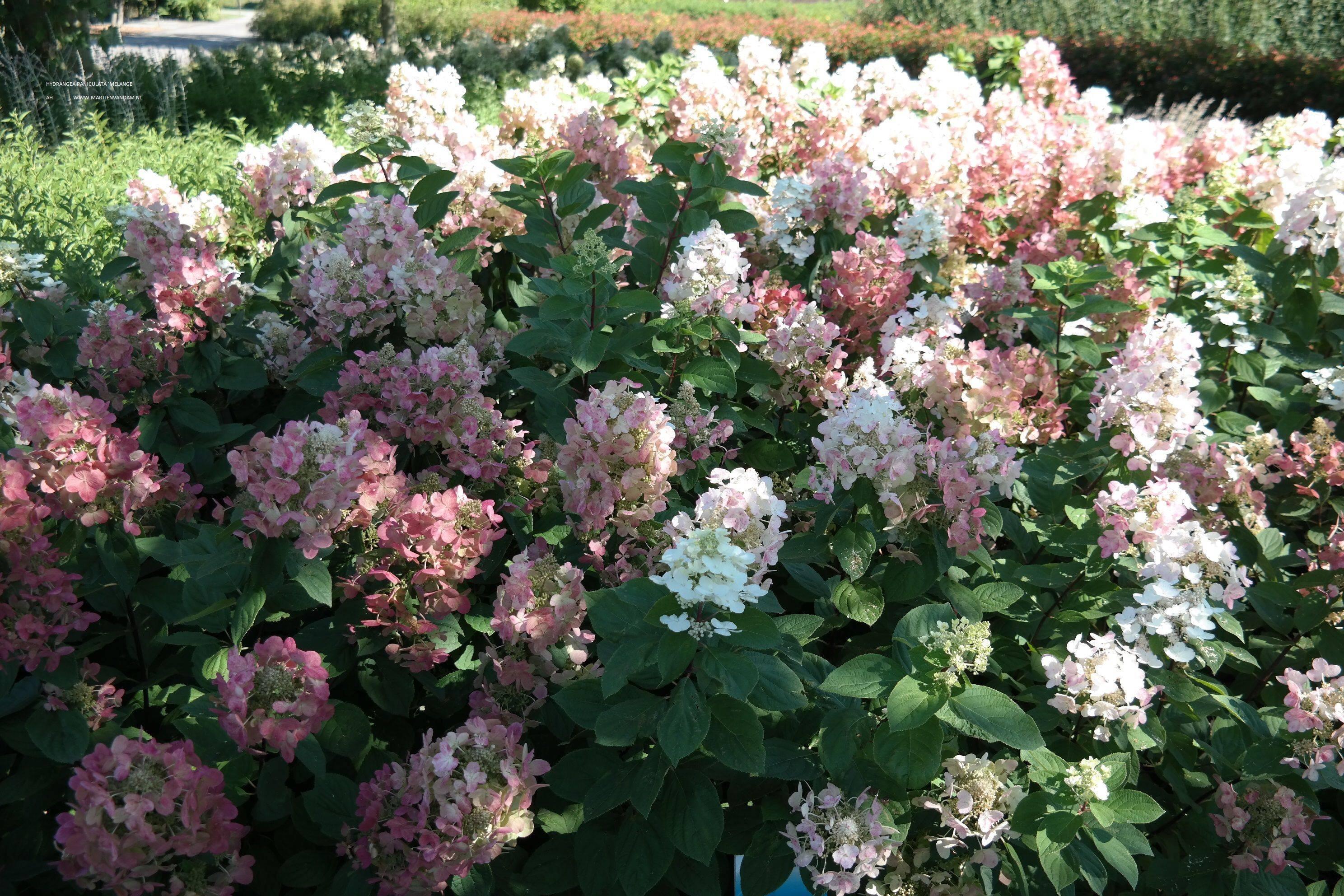 Гортензия Пастель Грин (Hydrangea Paniculata Pastelgreen)