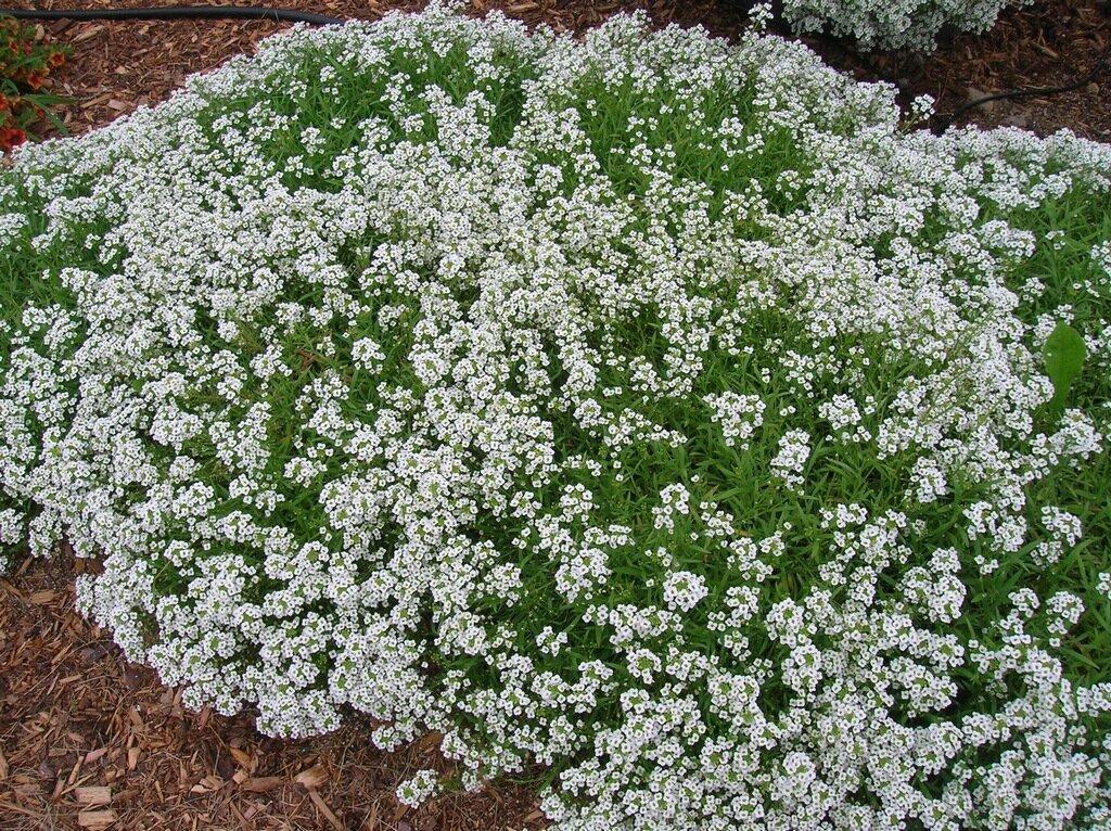 Алиссум морской (31 фото): описание травянистого растения для открытого грунта. выращивание лобулярии приморской из семян