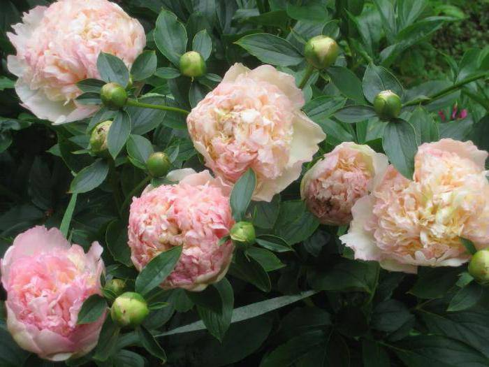 Пион энджел чикс (paeonia angel cheeks) — характеристики сорта