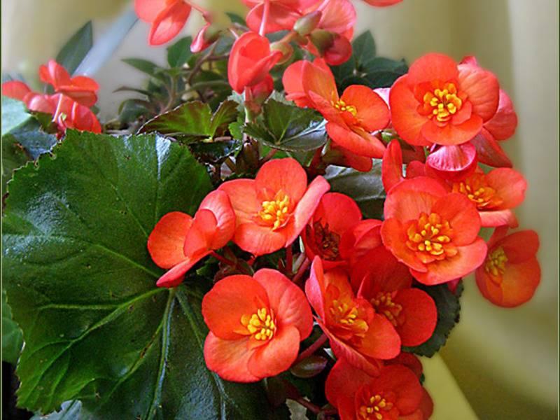 11 неприхотливых комнатных цветов, цветущих круглый год