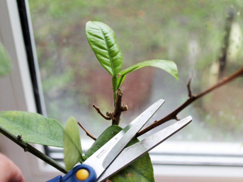 Как вырастить дома дерево авокадо: комнатное авокадо из косточки