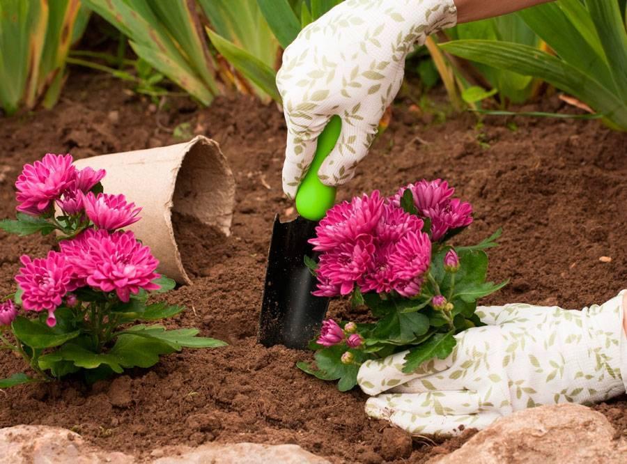 Герберы в саду — выращивание и уход, посадка растения в открытом грунте ?