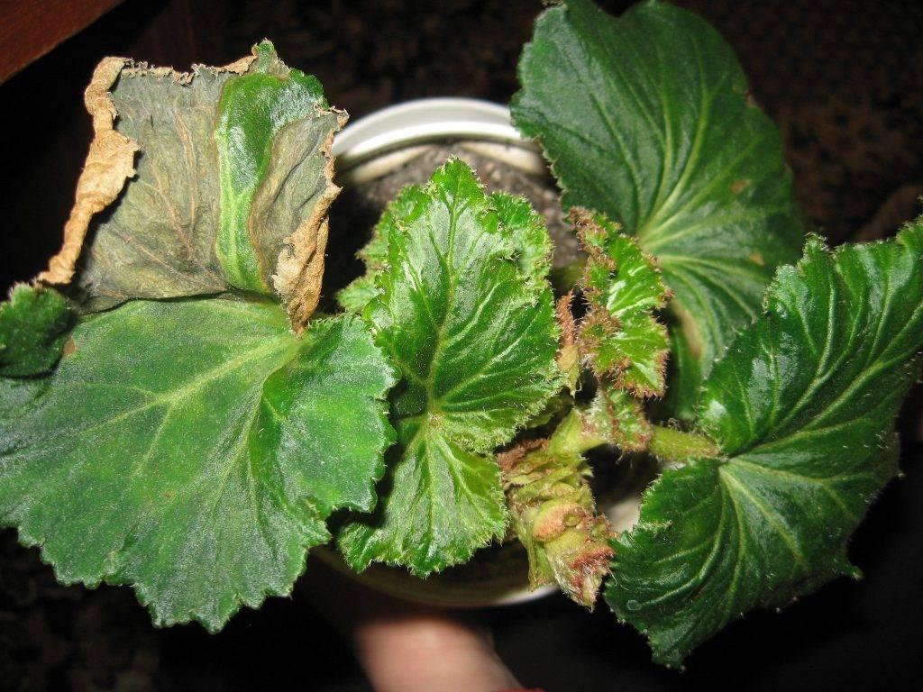 Важные нюансы: почему у бегонии опадают бутоны и листья, как помочь растению?