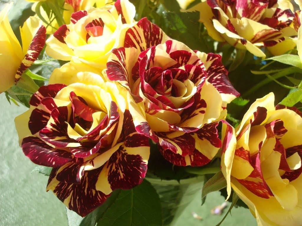 Посадка плетистой розы флорибунда мидсаммер: агротехника выращивания сорта