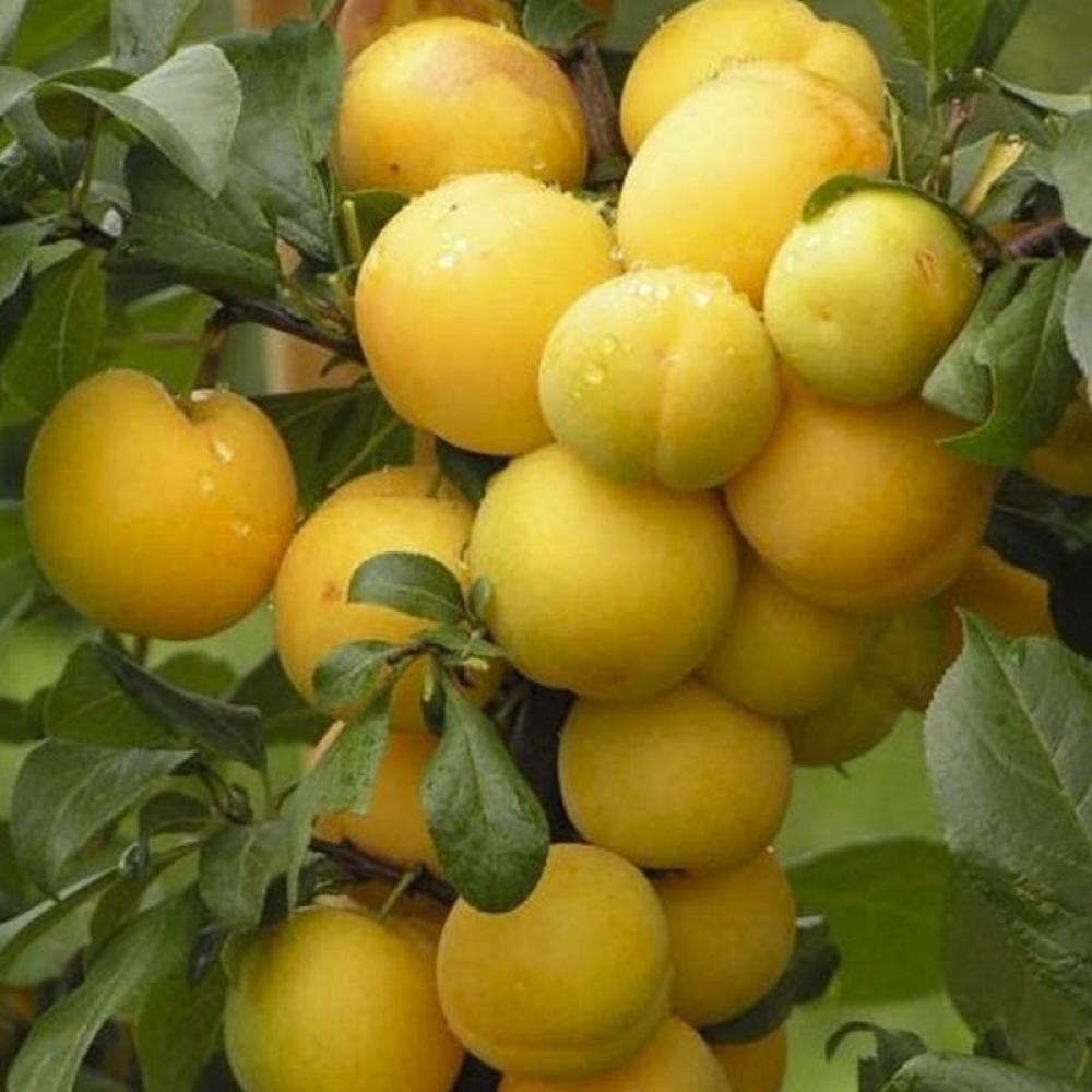 Редкие жёлтые фиалки — топ-10 сортов с вкраплениями желтого цвета